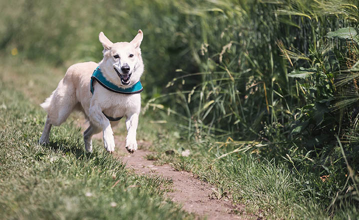 dog running on a trail